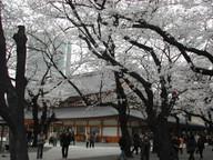 Sakura3_3