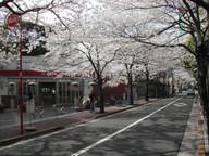 Sakura4_1