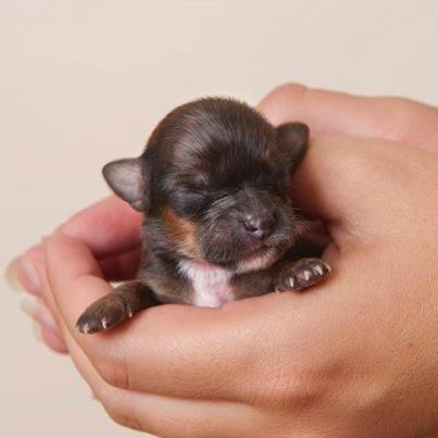 Smallest_dog1