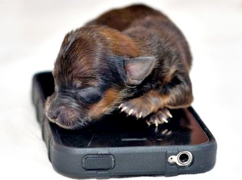 Smallest_dog2